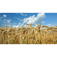 Ukraine has harvested a historical maximum of grain: what is behind the record